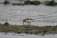 ---20130108--2 (pcbirdtw) Tags: bird dunlin