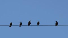 Day 231/366 birds on the high-voltage line (Josef Sauerland) Tags: blue sky black bird himmel days tage 365 crow blau schwarz vogel hochspannung hochspannungsleitung 366 rabenvogel highvoltageline projekt365 projekt366