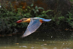 In flight (kampang) Tags: flight storkbilledkingfisher pelargopsiscapensis