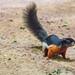Prevost's squirrel