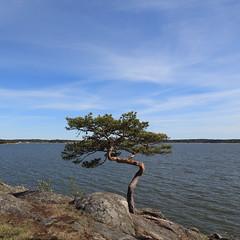 Kuuva 2016, May :-) (honiigsonne) Tags: suomi kuuva ruissalo finland turku kuuvannokka baltic sea pine coast finnland kiefer ostsee urlaub holiday