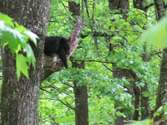 The Bear Necessities (larry_boy17) Tags: greatsmokymountains smokies smoky mountains mountain vacation trip getaway findyourpark 100yrs centennial tennessee northcarolina national park nationalpark bear blackbear black sleeping tree trees forest habitat nap outside outdoor nature