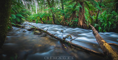 The Flow (C.R Images) Tags: river stream trees forest fern fallen branch rock long exposure smooth water nature explor exploration warburton victoria australia nikon d7100 sigma 1020mm