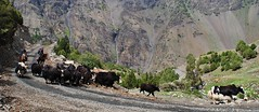Yaks in the Kichi Alay valley