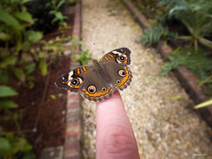 Common Buckeye On My Finger (Hannah Underhill) Tags: insect nature macro closeup summer gardening memphis tennessee butterfly