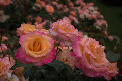 20160809_portland_0014.jpg (fred.carter) Tags: garden travelling usa flora fredcarter northamerica rosebud overcast travel flowerbud vacation weather roses flowers plant