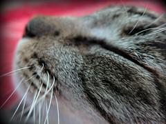 Es tiempo de Atrapar Sueos... (MaPeV) Tags: morris bellolindoguapetn gatos cats chats kawaii felin neko gatti gattini gattoni tabby chat katze gato kitty tabbyspoted powershot canon g16