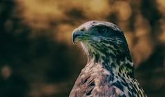Bird of prey  (Explore 12.09.2016) (Delbrücker) Tags: greifvogel bird animal vogel tier outdoor bokeh nikond610 nikkor 70200mm 28 nature natur