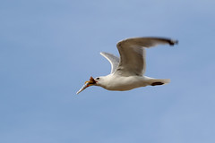 Herring Gull with Ice Cream Cone....6O3A4695A (dklaughman) Tags: laughing gull rehobothbeach delaware bird