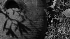coins de jardins sous hautes lumires....2/3 (peu prsente...ailleurs !) Tags: jardin lumire ennoiretblanc chezmoi escholzia jarre