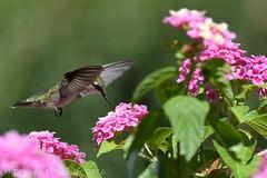 Pretty in Pink (dbifulco) Tags: rthu bird flight flower flying garden lantana nature newjersey nikkor300f4pfed pink rubythroatedhummingbird wildlife