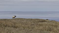 On the Lookout (lennycarl08) Tags: tuleelk elk animalplanet pointreyesnationalseashore pointreyes northerncalifornia california marincounty