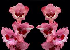 Gladioli Reflection (rustyruth1959) Tags: creative yorkshire blackbackground two reflection pink outdoor nature petals bllom flower gladioli tamron16300mm nikond3200 nikon plant flowercluster stem black