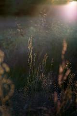 Last summer light (- David Olsson -) Tags: karlstad sweden field ng plants greenery lastlight summer backlit backlight shortdof handheld tamron macro 90mm nikon d800 davidolsson 2016 landscape nature