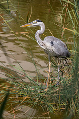 Heidelberg Heron V (boettcher.photography) Tags: heidelberg germany deutschland badenwrttemberg august sommer summer 2016 sashahasha boettcherphotography tier animal vogel heron reiher fischreiher natur nature