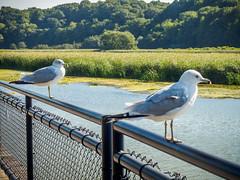 river gulls (wwnorm) Tags: birds geneseeriverway gulls picaday2016