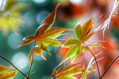 In the wind (JPShen) Tags: changingcolor leaves leaf maple windy wind