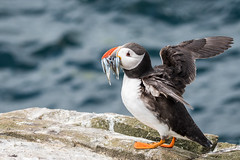 A great catch D50_2290.jpg (Mobile Lynn) Tags: nature birds puffin wild bird fauna fratercula wildlife farneislands northumberland england gb coth ngc npc coth5 sunrays5