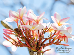 Pink Frangipanis (stormgirl1960) Tags: frangipani flower tree floral flora pink pretty garden darwin northernterritory australia topend bunch tropical