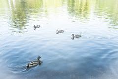 Faded memory: duck pond (motocchio) Tags: boston bostoncommon pond duck ducks duckpond earlysummer