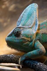 Gregor the veiled chameleon (Pter_Szab) Tags: veiled chameleon veiledchameleon