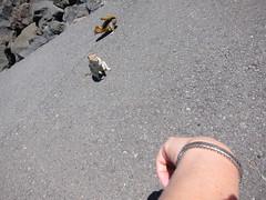 Golden-mantled Ground Squirrels, Dee Wright Observatory (Perkules) Tags: deewrightobservatory cascademountains lava willamettenationalforest mckenziepass goldenmantledgroundsquirrel spermophiluslateralis oregon