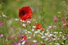 Essence Of Summer (FlorDeOro) Tags: nikon d90 photography nikkor 55300mm nature flowers field poppy plant blossom sun colorful bokeh closeup summer gotland sweden mijarajc