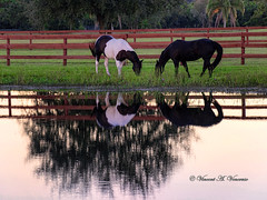 Evening Meal (Visions by Vincent) Tags: horse sunset meadow pond greatphotographers ngc