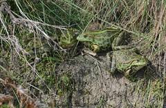Four fat marsh frogs, Pelophylax ridibundus (willjatkins) Tags: frog frogs marshfrog pelophylaxridibundus pelophylax laughingfrog amphibians amphibian frogsofeurope europeanfrogs ukwildlife ukamphibiansandreptiles ukreptilesandamphibians ukamphibians ukfrogs britishwildlife britishamphibiansandreptiles britishreptilesandamphibians britishamphibians britishfrogs londonwildlife londonamphibians rainhammarshes rspbrainham rspbwildlife essexwildlife essexamphibians nikond7100 nonnativespecies nonnativewildlife nonnativeamphibians