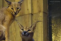 P1040510 (LaBonVampire) Tags: caracal animals nature leica leicalenses lumix