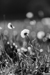 Mittendrin.. | ..In Between (Sorgenfred) Tags: bw blowball bokeh dandelion fotografie jinnyjoe lwenzahn meadow natur nature photography pusteblume schatten shadows wiese blackandwhite blackwhite monochrome schwarzweis lionstooth loewenzahn