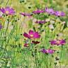 Schmuckkörbchen - Cosmos bipinnatus (duonghoangmai) Tags: cosmos flowers flowercolors flowerphotography naturephotography naturelovers naturephotos blumen gardening blossom blüte