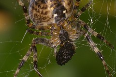 Garden Spider with meal (Tyrone Williams) Tags: canon canon7d canonef70200lf4 extensiontubes yongnouringflash ringlight ringflash flash yn14ex handheld