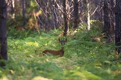 .. (jesscser) Tags: nature landes fort nikon nikkor sigma cervid bracard chevreuil 150600 contemporary