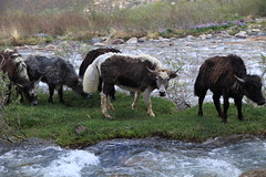 Herding The Family Yaks Murghob Pamir Highway Tajikistan Central Asia (eriagn) Tags: asia centralasia tajikistan murghab pamir mountainous mountains semiarid highaltitude herding herd yaks family nomads seminomadic livestock road dirtroad 4wd horse bicycle geofgraphy geology grass river eriagn ngairelawson ngairehart travel photography murghob summer