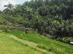 P9270037 (tonkonogov) Tags: indonesia bali ubud