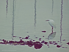 Natura riflessa.. ( Jolly Joker ) Tags: reflection bird nature natura riflessi egret garzetta jollyjoker