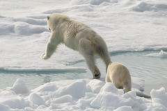 The Long Jump (pat kearton) Tags: bear water cub jumping ship bears arctic iceberg polar polarbears aleksey oldboat walruss maryshev polarbearwithcub
