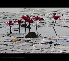"""Mid Sun Lotus • <a style=""""font-size:0.8em;"""" href=""""http://www.flickr.com/photos/86056586@N00/8086151847/"""" target=""""_blank"""">View on Flickr</a>"""