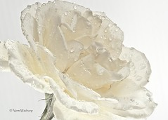 White Rose (Pragmatic1111) Tags: white flower macro love water rose silver drops nikon d700 sb700 mygearandme sb910