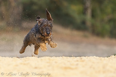 Flying wirehaired Dachshund (Hans Surfer (where the action is)) Tags: flyingdog wirehaireddachshund rememberthatmomentlevel1 rememberthatmomentlevel2 rememberthatmomentlevel3 me2youphotographylevel2 me2youphotographylevel3 me2youphotographylevel1 me2youphotographylevel4