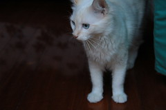 IMG_0399 (deadoll) Tags: cats cute love cat canon fur furry kat feline chat amor adorable kitty kittens 7d gata felinos felino felines neko katze fofo gatto babys gatti pur gatas canon7d