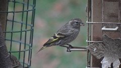 Pine Siskin (Rick Wright, Victor Emanuel Nature Tours) Tags: newjersey october finches pinesiskin goldfinches fringillidae spinus siskins fringillids