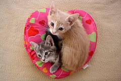 Bebes (Campanero Rumbero) Tags: cats pets cute home beauty colombia bogota gatos felinos animales mirada mascotas corazon hermosos bebes hijos bellos gatunos