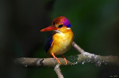 Oriental Dwarf Kingfisher (kengoh8888) Tags: wild black cute pose dark pentax background kingfisher perch stick backed avian k5 smallbird colorfulbird kfclean