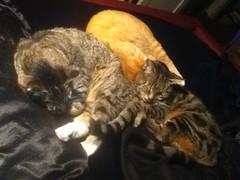 Three of my kids in bed with me (Hairlover) Tags: cats public cat ginger kitten kitty kittens kitties kittys threeleggedcat allcatsnopeople 23yearoldcat