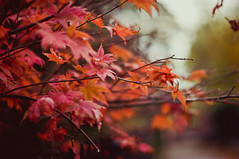 Acer (MMortAH) Tags: autumn red fall leaves 50mm maple nikon bokeh 14 explore acer getty nikkor afs d90