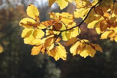 der Herbst ist da und die Sonne scheint...the fall is here and the sun is shining (clickfish22) Tags: autumn herbst bltter sonnenschein