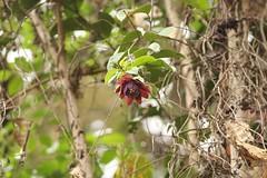 Passiflora ambigua (Birdernaturalist) Tags: red ecuador terminal valladolid passiflora passifloraceae pendant largecactusfinch zamorachinchipe