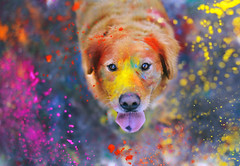 The Explosion of Colors  42/52 (sprinkle happiness) Tags: pink red colors yellow goldenretriever holi chuppy suchagoodboy lovethispup